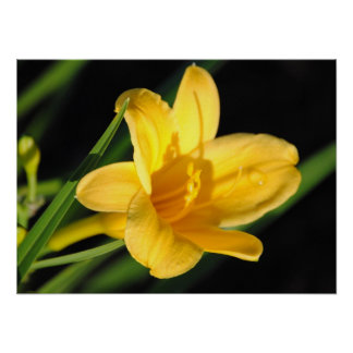 Shadow Yellow Lily Poster