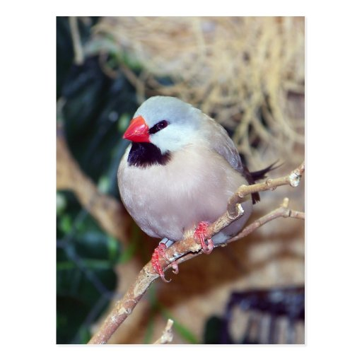 Shaft-tail Finch Post Cards