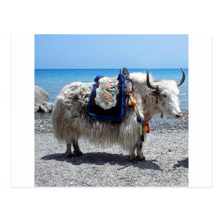 Shaggy Yak Wearing Brightly COlored Tack Postcard