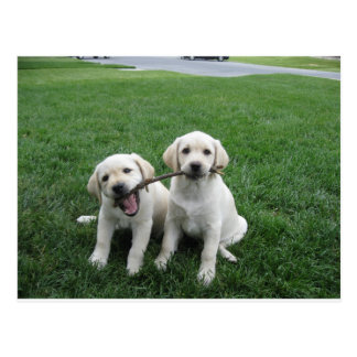 Sharing Lab Puppies Postcard
