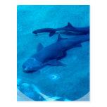 Shark Pair Postcard