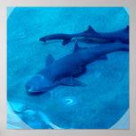 Shark Pair Poster