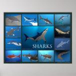 Shark Species Poster