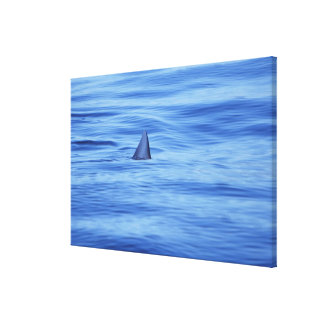Shark swimming in ocean water canvas print