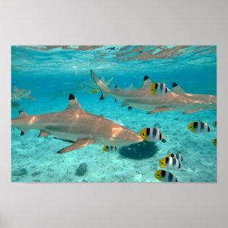 Sharks in the Bora Bora lagoon poster