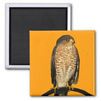 Sharp-Shinned Hawk 2 Inch Square Magnet