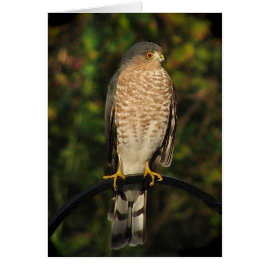 Sharp-shinned Hawk Card