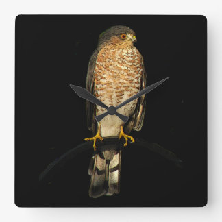 Sharp-shinned Hawk Clock