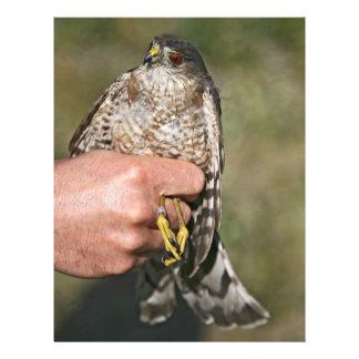 Sharp-shinned Hawk Flyers