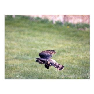 Sharp-Shinned Hawk in flight Postcard
