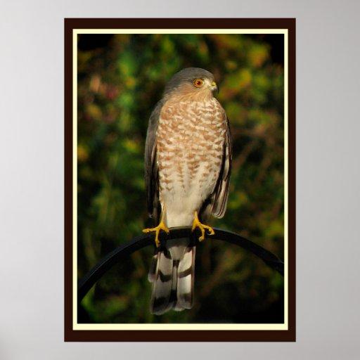 Sharp-shinned Hawk Poster