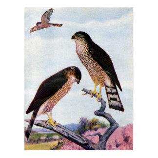 Sharp-shinned Hawks Postcard