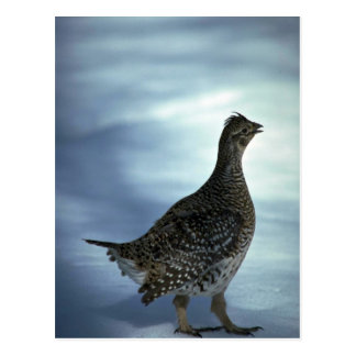 Sharp-tailed grouse postcard