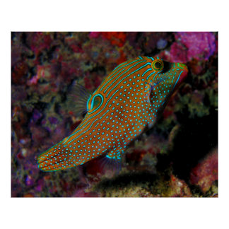 Sharpnosed Puffer Solander's Toby  Blue Spotted Poster