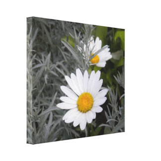 Shasta Daisies wrapped canvas Gallery Wrapped Canvas