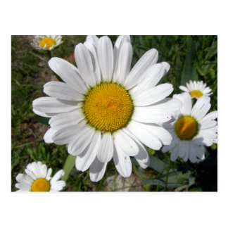 Shasta Daisy (Chrysanthemum maximum) Postcard