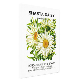 Shasta Daisy Vintage Seed Packet Gallery Wrapped Canvas