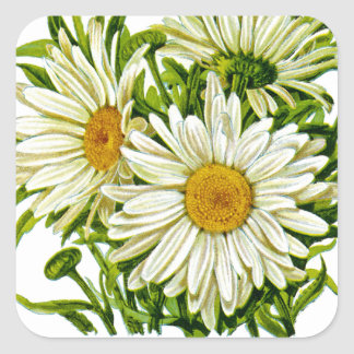 Shasta Daisy Vintage Seed Packet Square Sticker