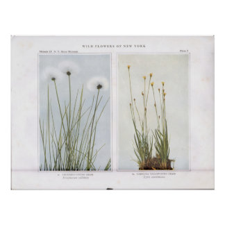 Sheathed Cotton Grass - Eriophorum callithrix Poster