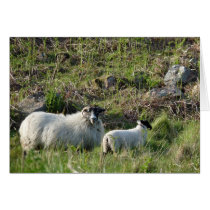 Sheep and Lamb in Northumberland England
