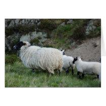 Sheep and Lambs in Northumberland England
