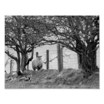 Sheep and trees black and white photograph poster