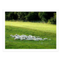 Sheep at Sleep Postcard