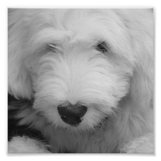 Sheep Dog Photo Poster Print