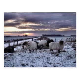 Sheep - Dutch Winter Postcard