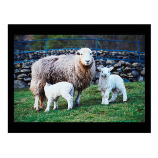 Sheep Family Post Card
