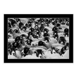 sheep flock black and white poster FROM 8.99