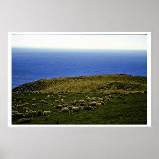 Sheep Flock, Christchurch, South Island Poster