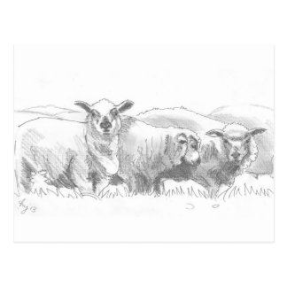 Sheep Flock Drawing Postcard
