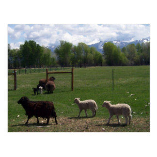 Sheep Follow the Leader Postcard