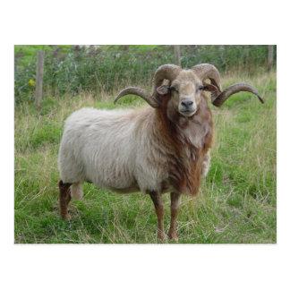 Sheep - Fox colored Ram Postcard