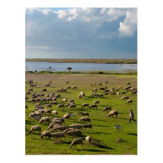 Sheep Goats Shepherd Vistonida Lake Landscape Postcard