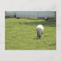 Sheep Grazing  Announcement Postcard