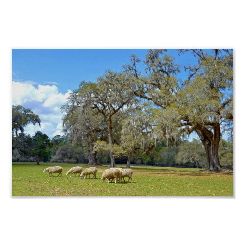 Sheep Grazing at Middleton Place, South Carolina Poster