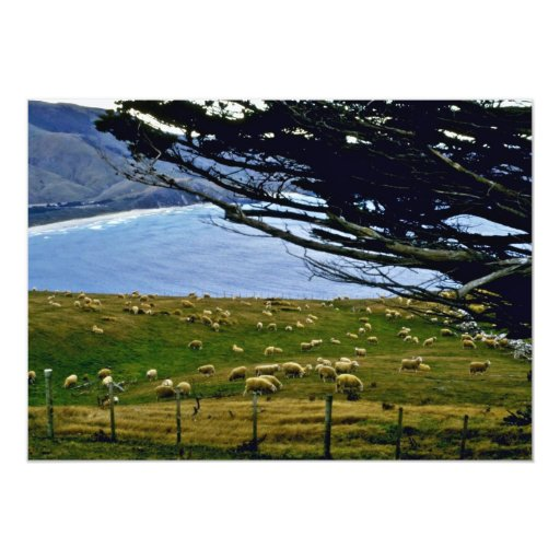 "Sheep Grazing, Christchurch Area, South Island 5"" X 7"" Invitation Card"
