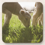 Sheep Grazing in Grass Beverage Coasters