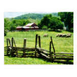 Sheep Grazing in Pasture Postcard