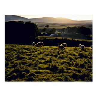 Sheep Grazing, North Island Postcard