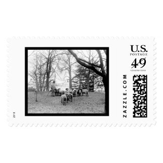 Sheep Grazing on the White House Lawn 1912 Stamp