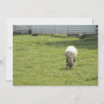 Sheep Grazing  Save The Date