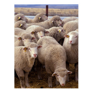 Sheep Herd Postcard