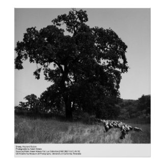 Sheep, Hopland Station, by Ansel Adams Poster