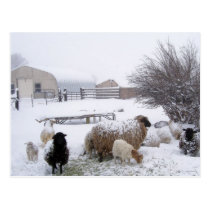 Sheep In April Snow Postcard