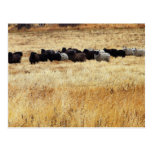 Sheep In Dry Grass Postcards