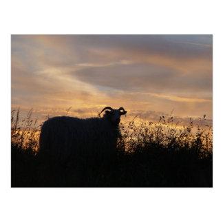 Sheep - in silhouette postcard