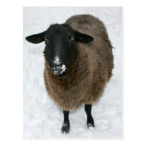 Sheep in snow postcard